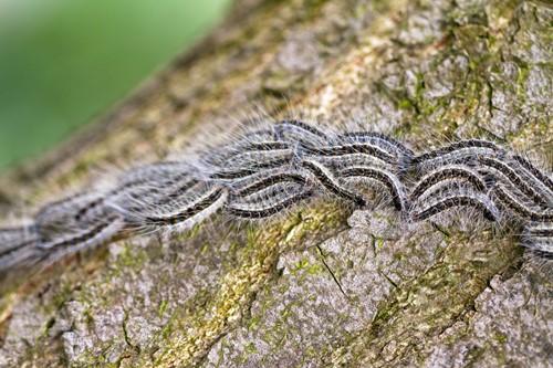 Rij van eikenprocessierupsen op een boom