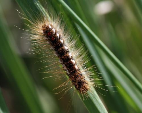 Bastaardsatijnrups met lange haren op een grasspriet