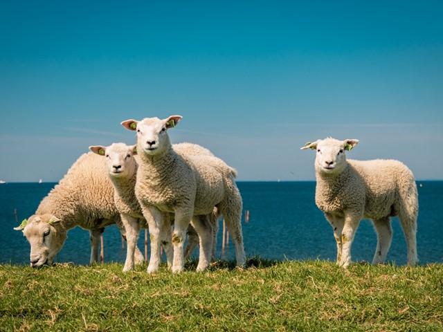 Vier schapen op een grasduin